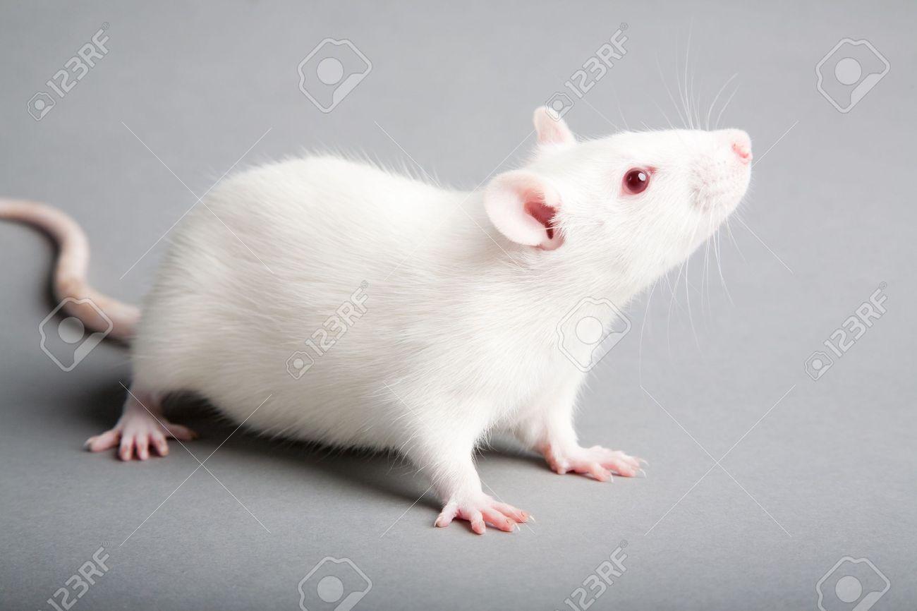 white laboratory rat isolated on grey background - 10801859