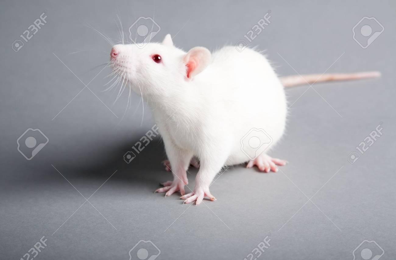 white laboratory rat isolated on grey background - 10995363