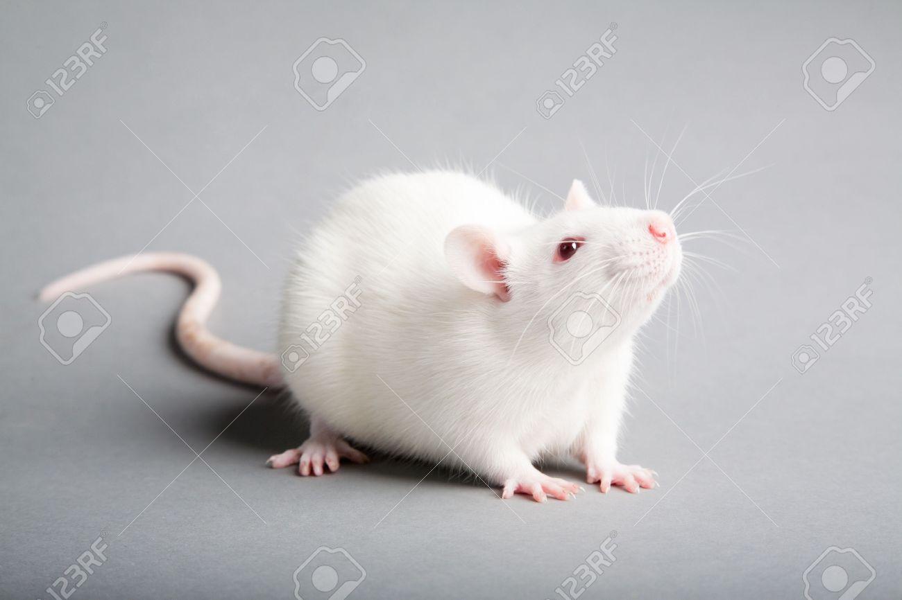 white laboratory rat isolated on grey background - 11410692