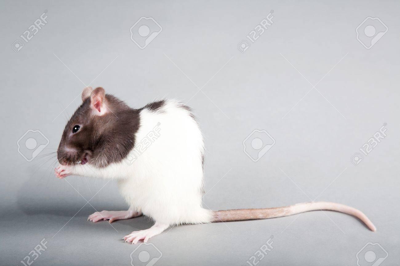 Brattleboro laboratory rat isolated on grey background - 11410681