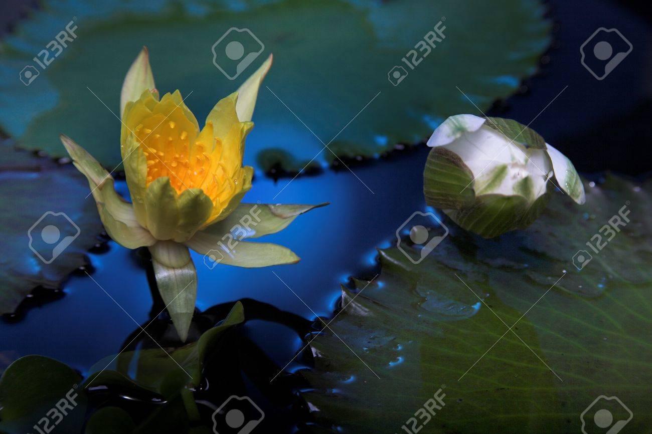 Water lily flowers on dark water stock photo picture and royalty stock photo water lily flowers on dark water izmirmasajfo