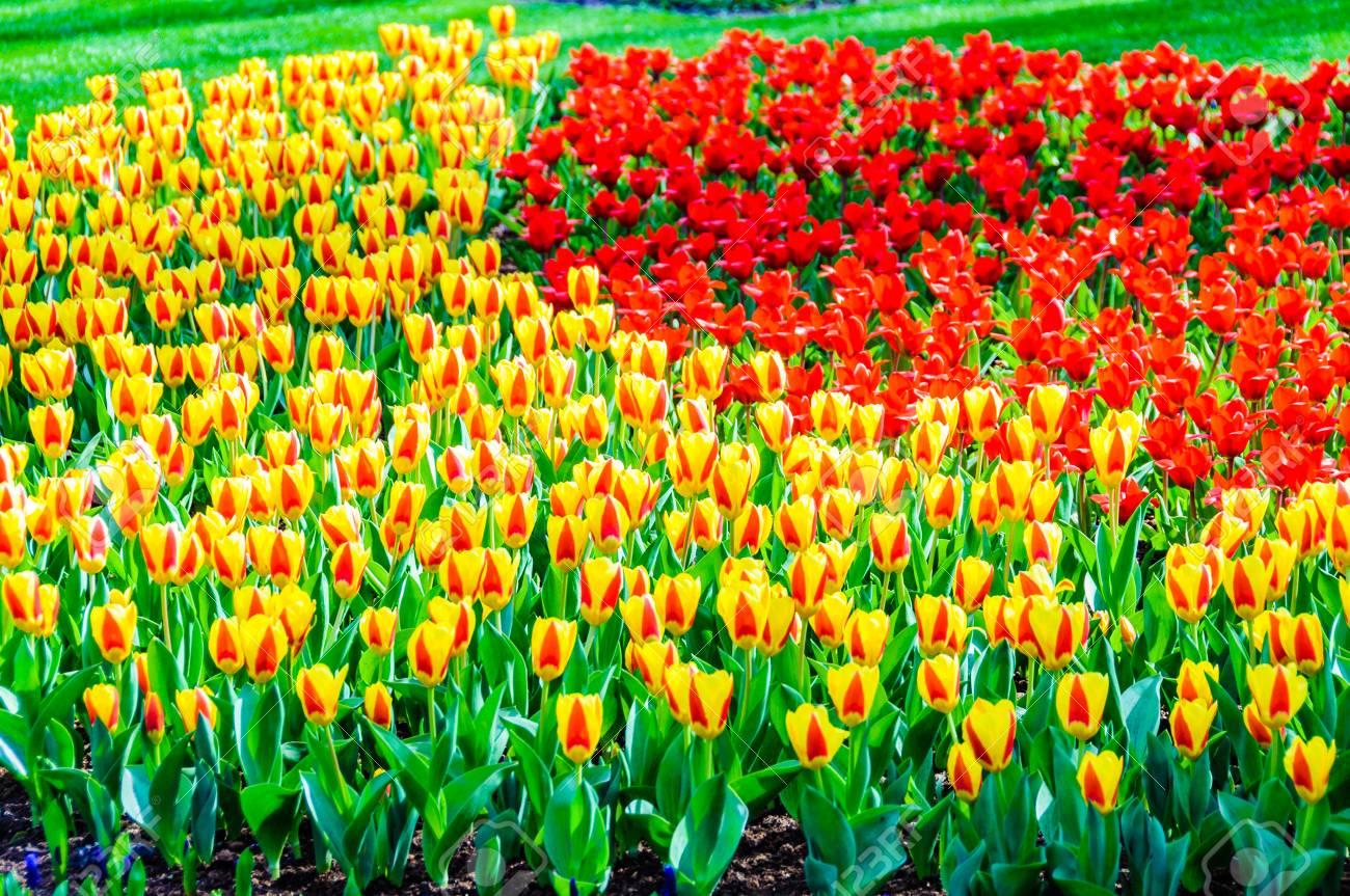red and yellow tulips in keukenhof garden near amsterdam, holland