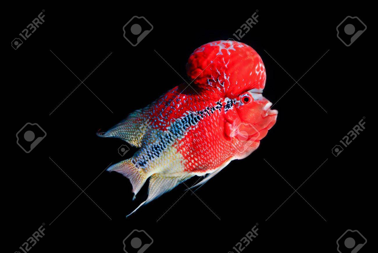 Flowerhorn Cichlid Fish Colorful Fish With Black Background. Stock ...