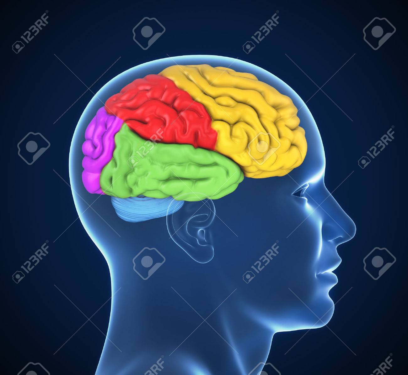 Human Brain 3d Illustration Stock Photo, Picture And Royalty Free ...