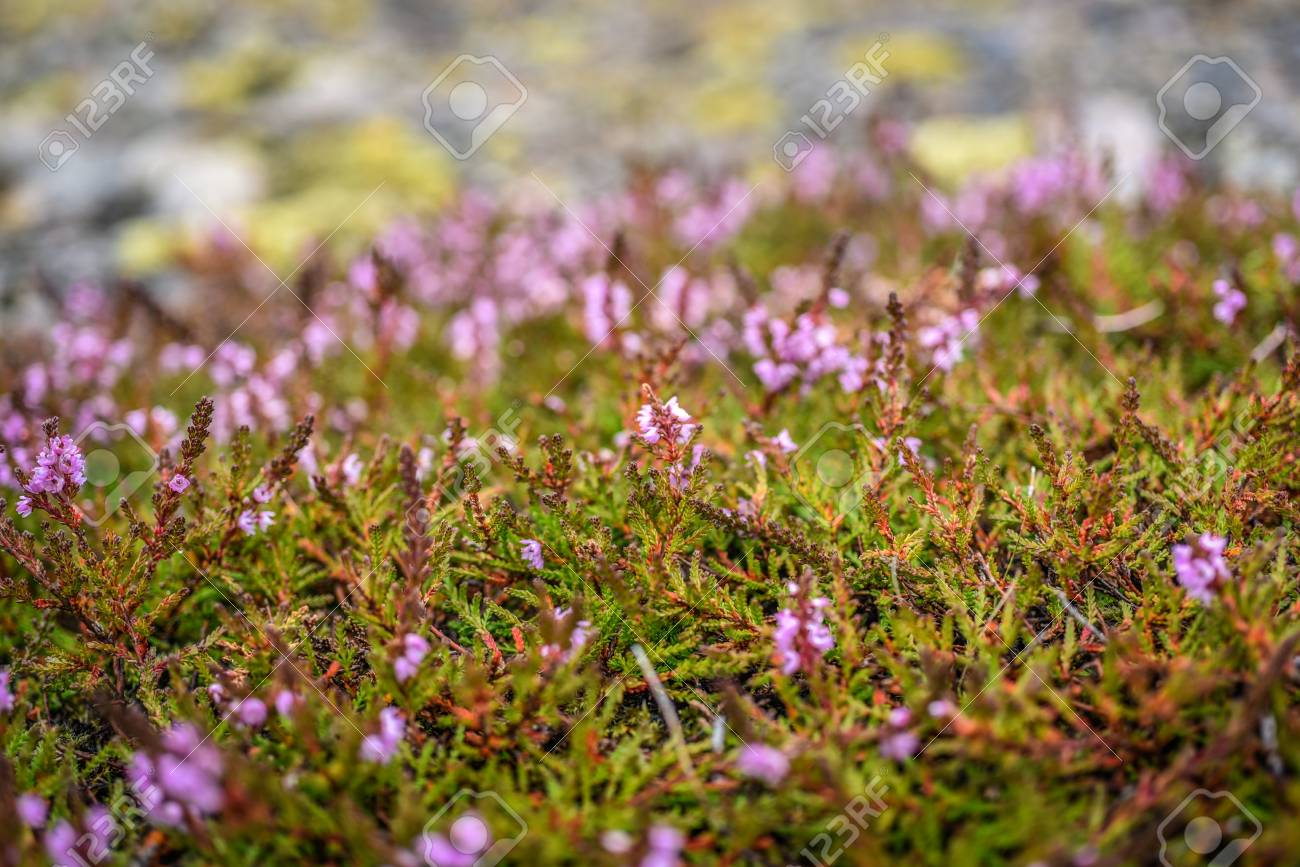 Field Of Pink Flowers Of Heather Growing In Iceland Summer Season