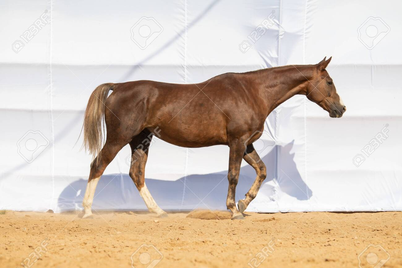 Horse Jumps On Sand On A White Background Stock Photo Picture And Royalty Free Image Image 156195730