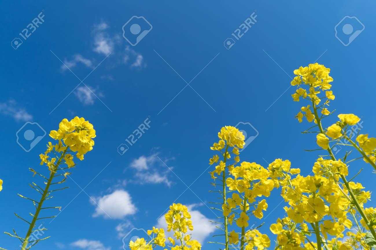 Rape blossom and blue sky. - 125692533