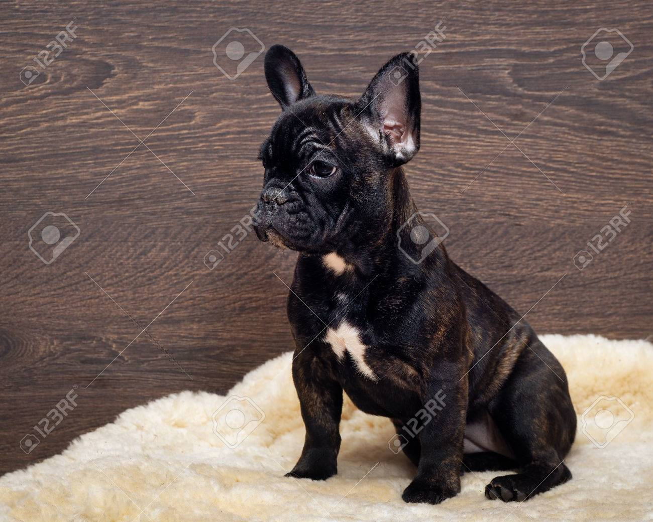 The Dog Sits At The Wooden Wall French Bulldog Puppy Color Stock