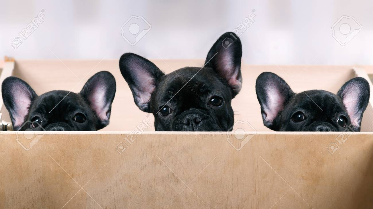 Three Puppies Look Out From The Enclosure French Bulldog Puppies