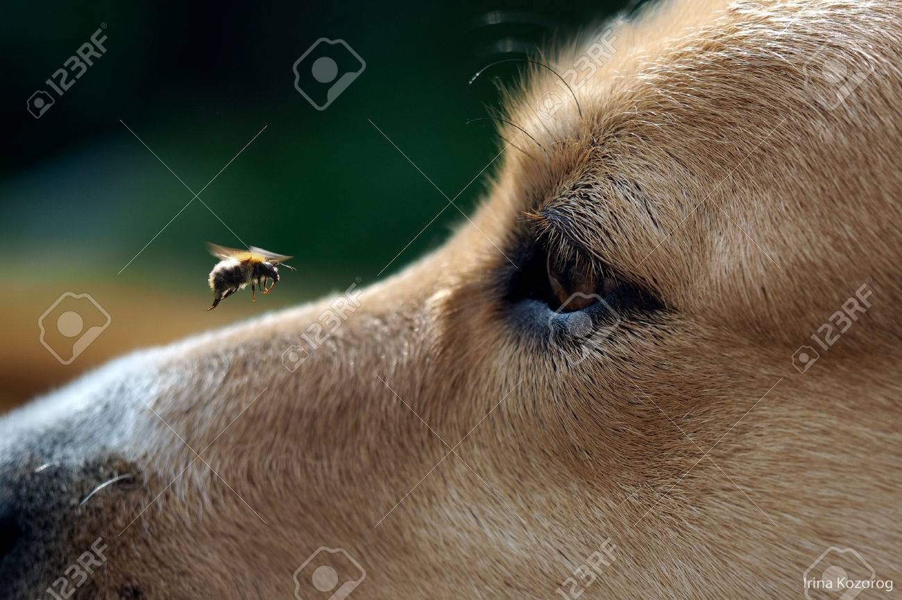 dog's muzzle and big bumblebee flying. The insect flew up to the dog's muzzle. The dog watches the flight of the bumblebee. dog bite danger - 57819270