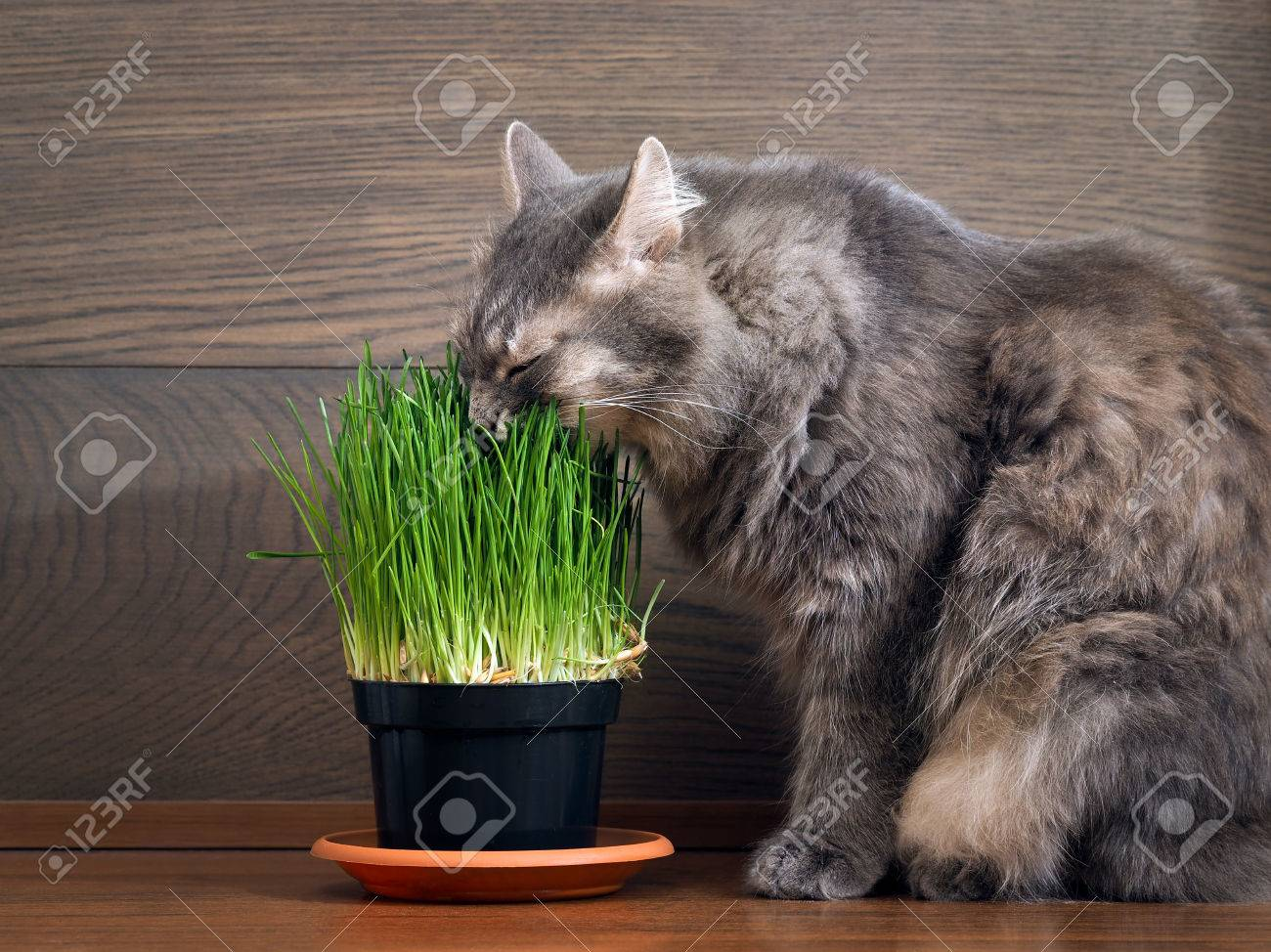 The cat is eating green grass - germinated oats in the pot - 61253620