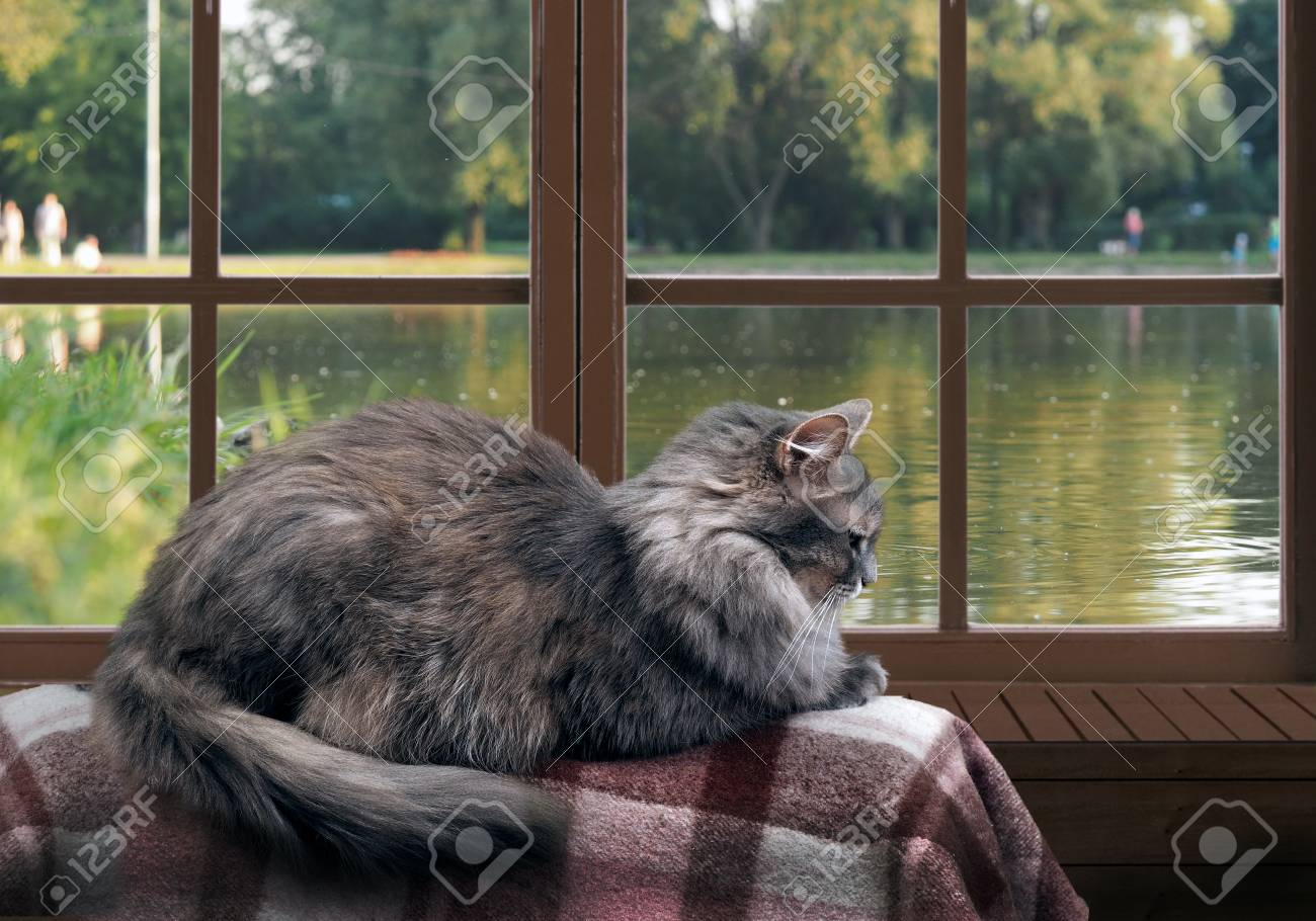 Cat on the balcony at the window. Outside, pond, green trees in the park. Cat large, gray, furry - 61500345