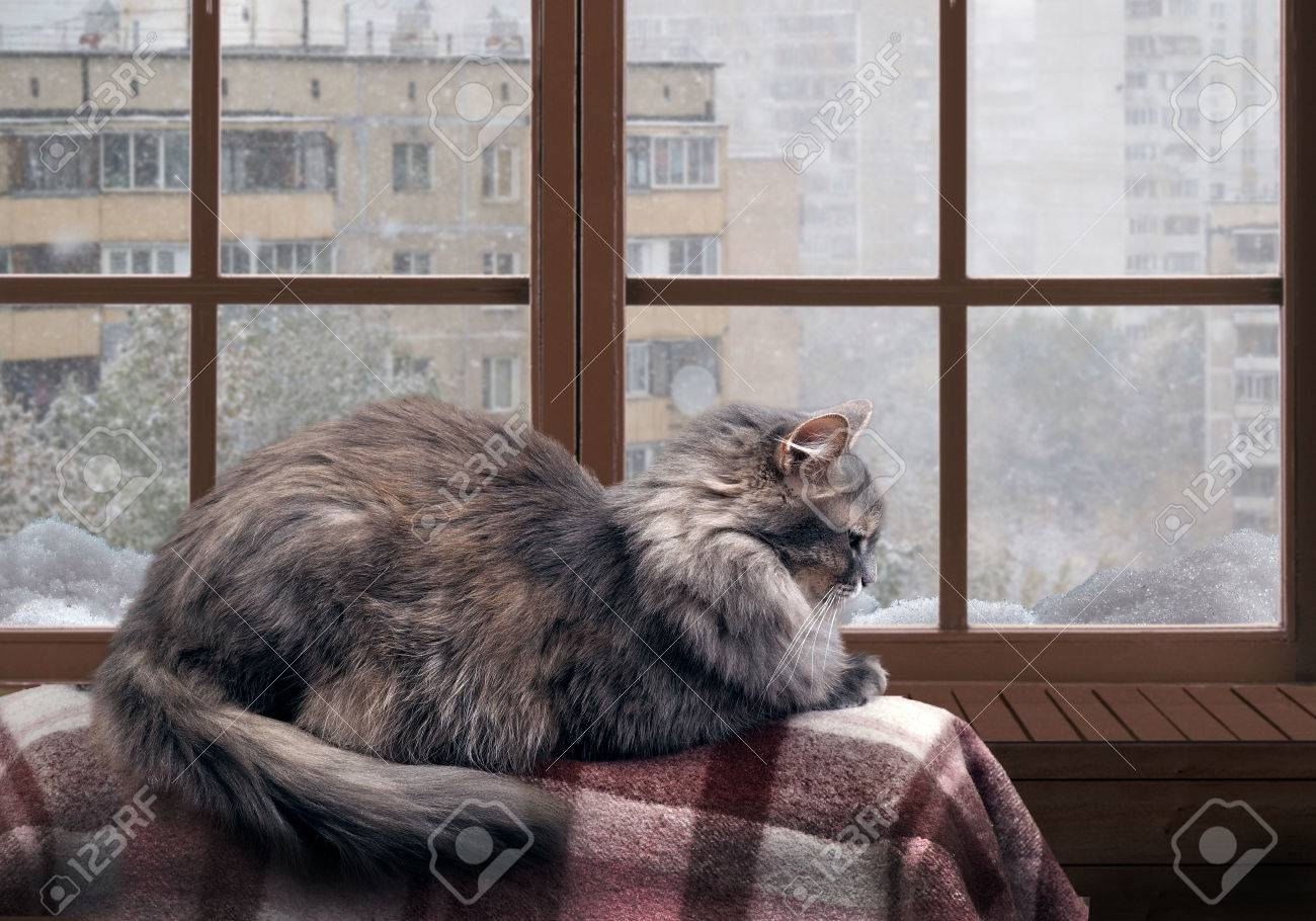 Cat on the balcony at the window. Outside the window, snow, winter. Cat large, gray, furry - 61500346