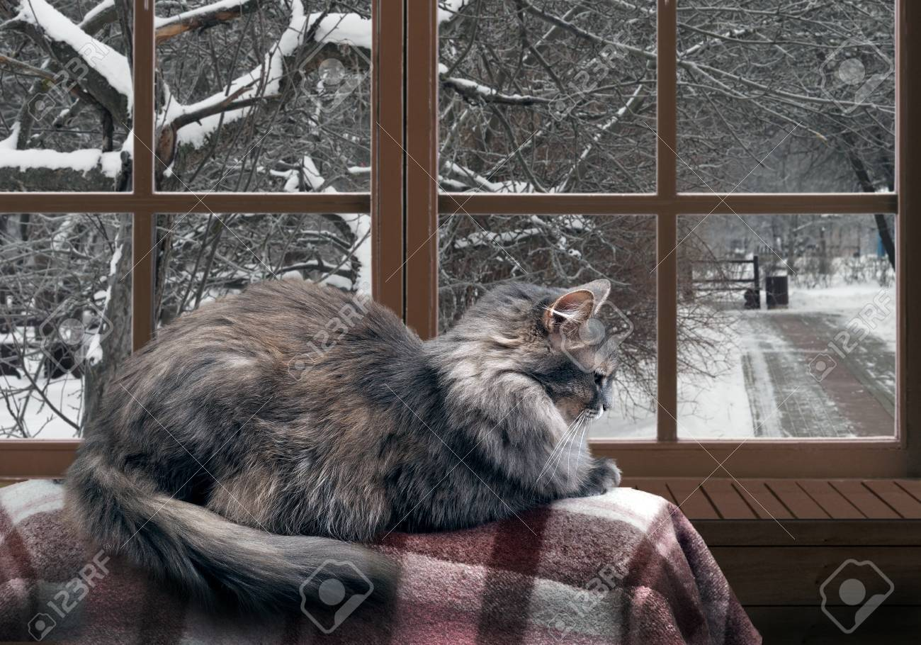Cat on the balcony at the window. Outside the window, snow, winter, trees in the park. Cat large, gray, furry - 61500347