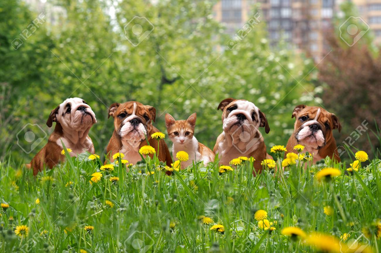 Cute dogs and cats in the tall grass among the dandelions. English Bulldog Puppies in a city park - 65751070