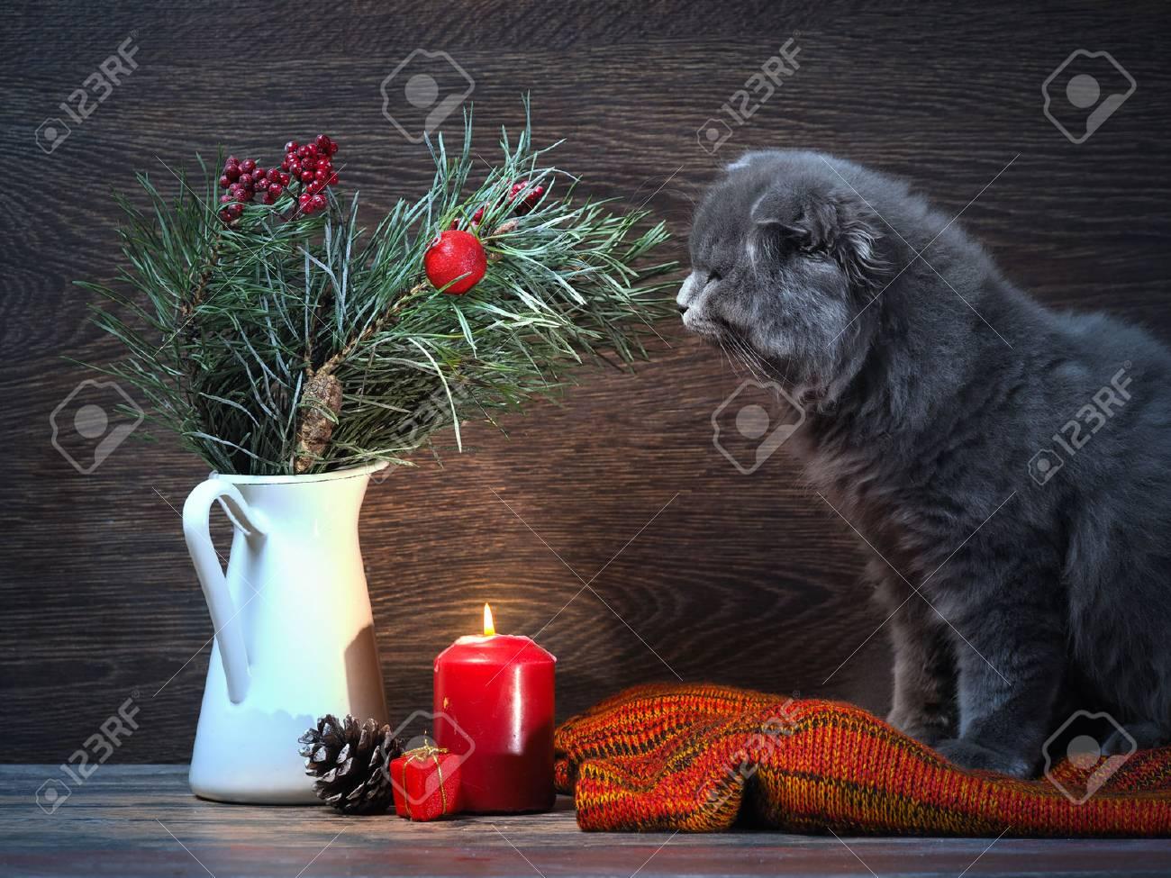Katze, Die Einen Blumenstrauß Von Weihnachten - Kieferzweig ...