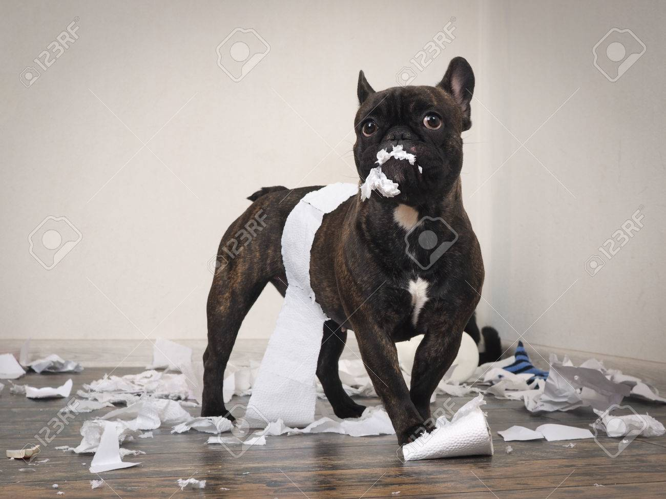 Funny dog made a mess in the room. Playful puppy French bulldog - 78494504