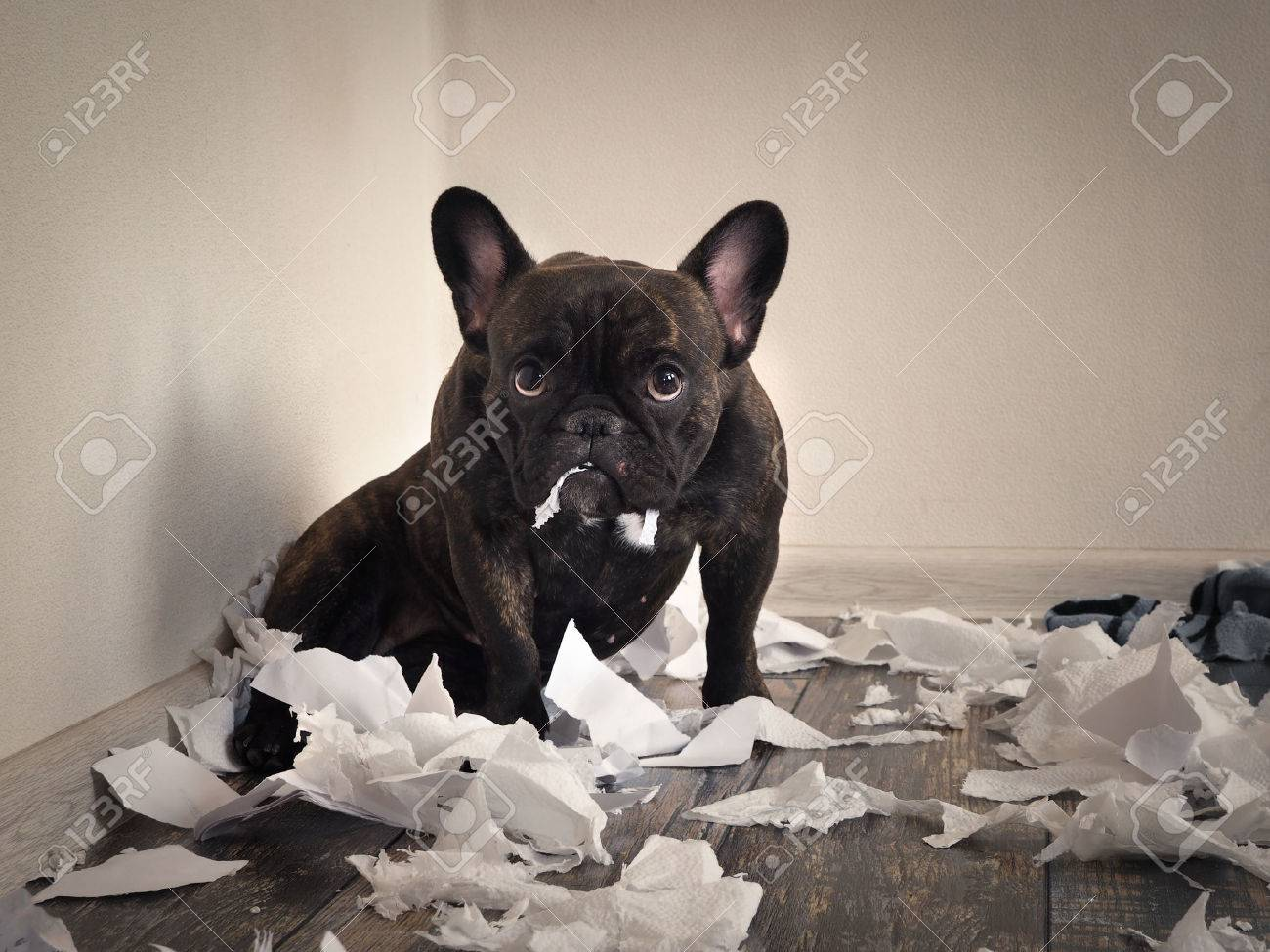 Blame the dog made a mess in the room. Playful puppy French bulldog - 78496679