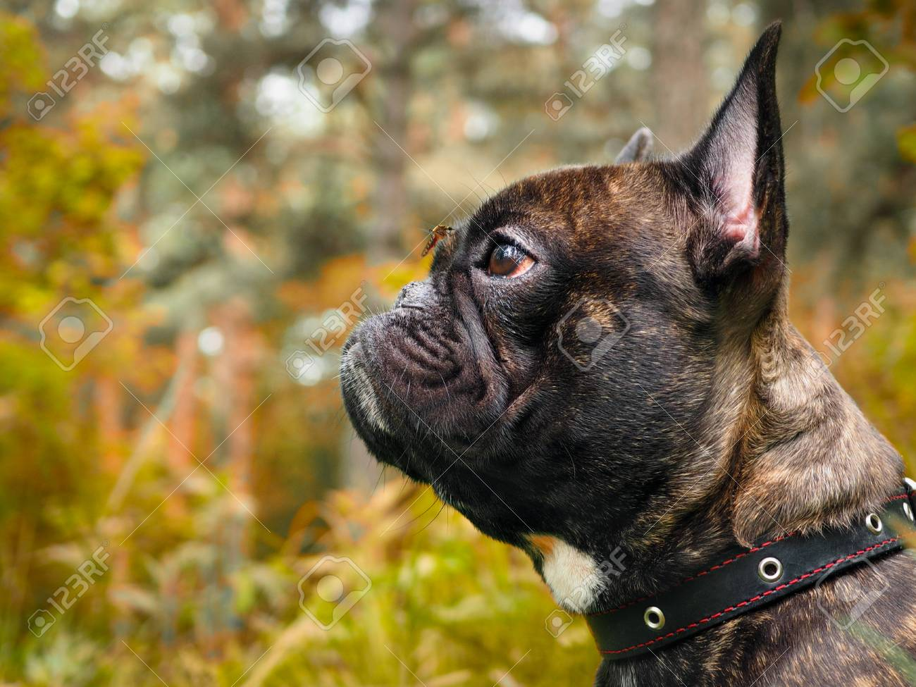 dog with a mosquito on your nose. The mosquito drinks blood. Nature, forest - 80230475