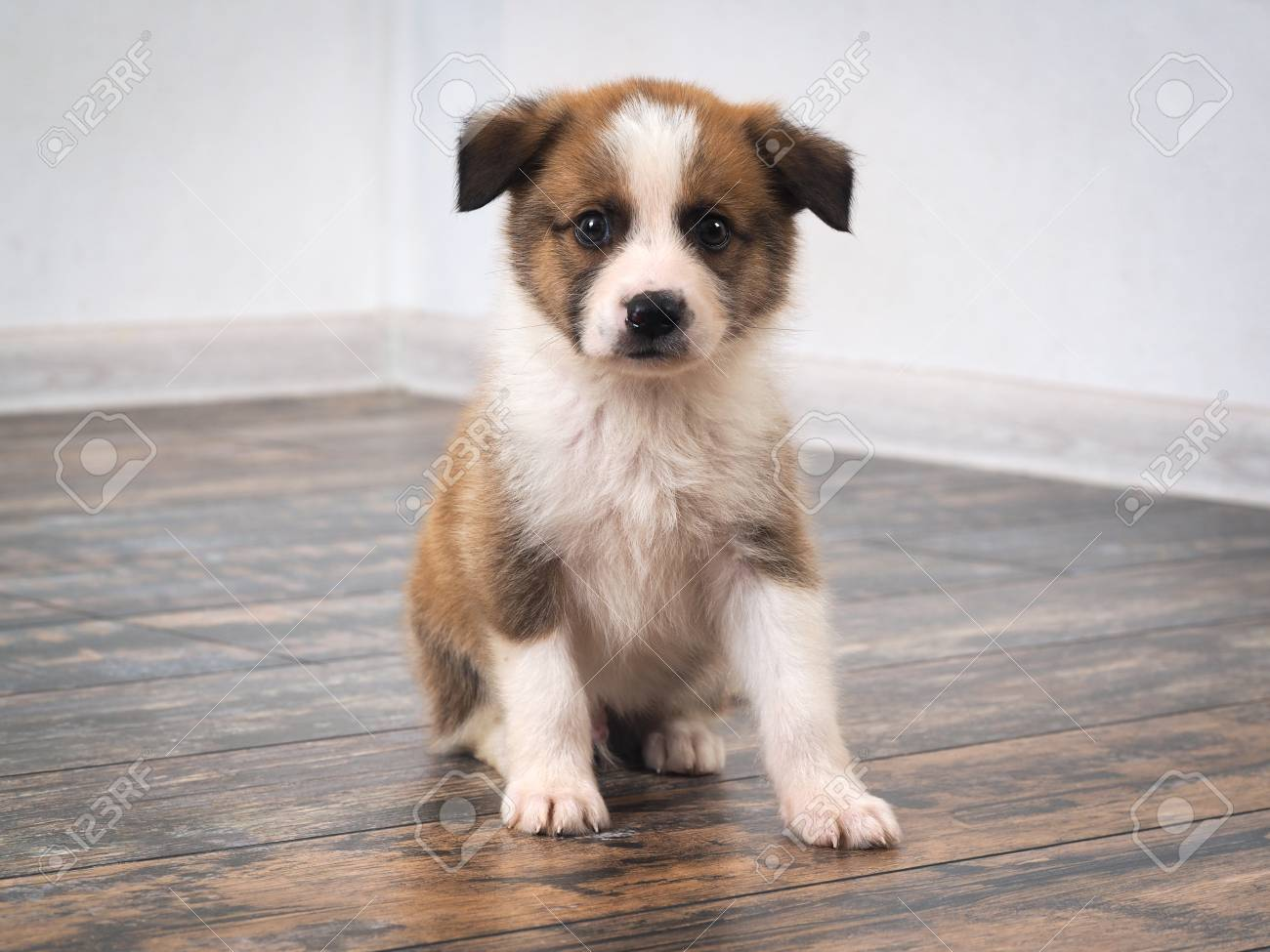Purebred dog sitting on the old wooden floor. Puppy 1 month. - 81357479