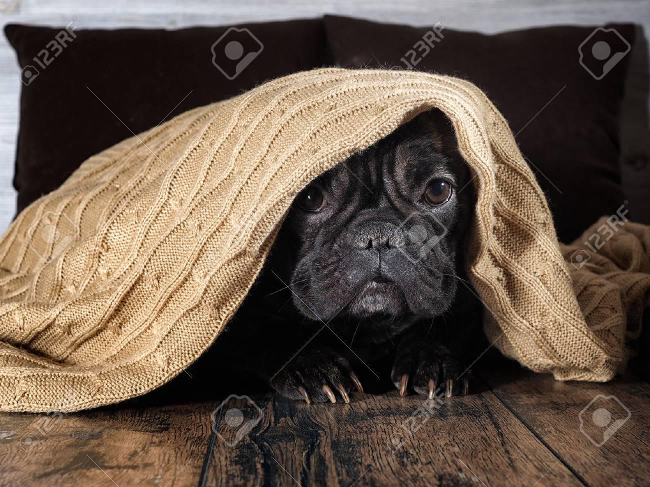 Amazing dog face. Bulldog funny hid under a warm blanket - 88238153