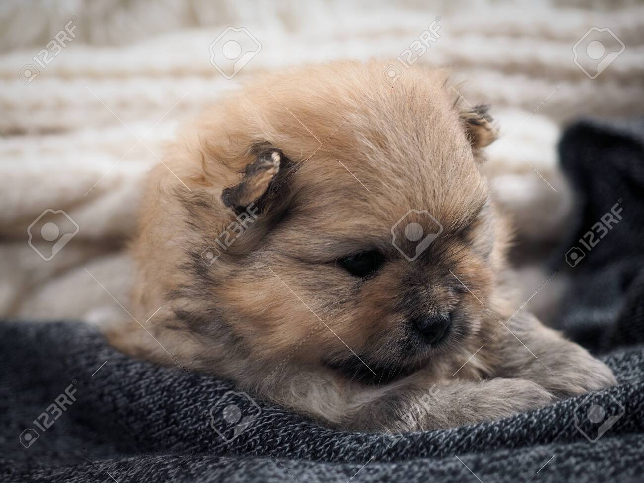 Portrait Of A Cute Puppy Fluffy Dog Pomeranian Breed Stock Photo Picture And Royalty Free Image Image 139232461