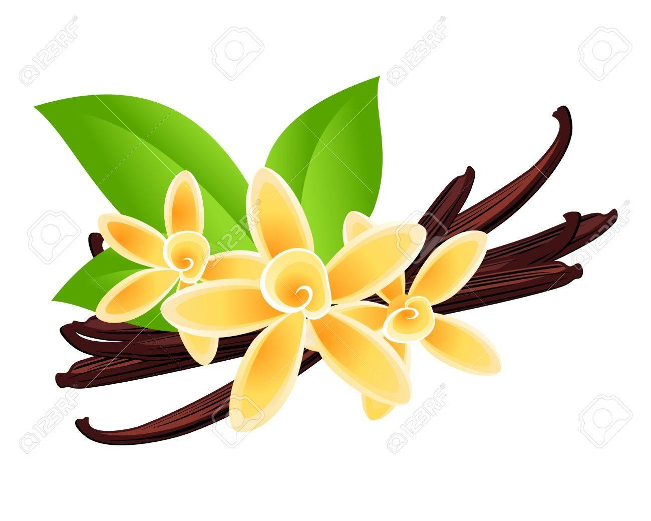 Vanilla flowers Vector floral background - 24080242