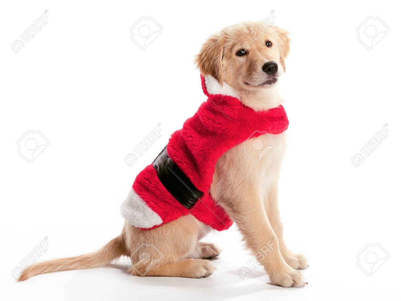 A Young Golden Retriever Wearing A Santa Costume Stock Photo Picture And Royalty Free Image Image 9880973