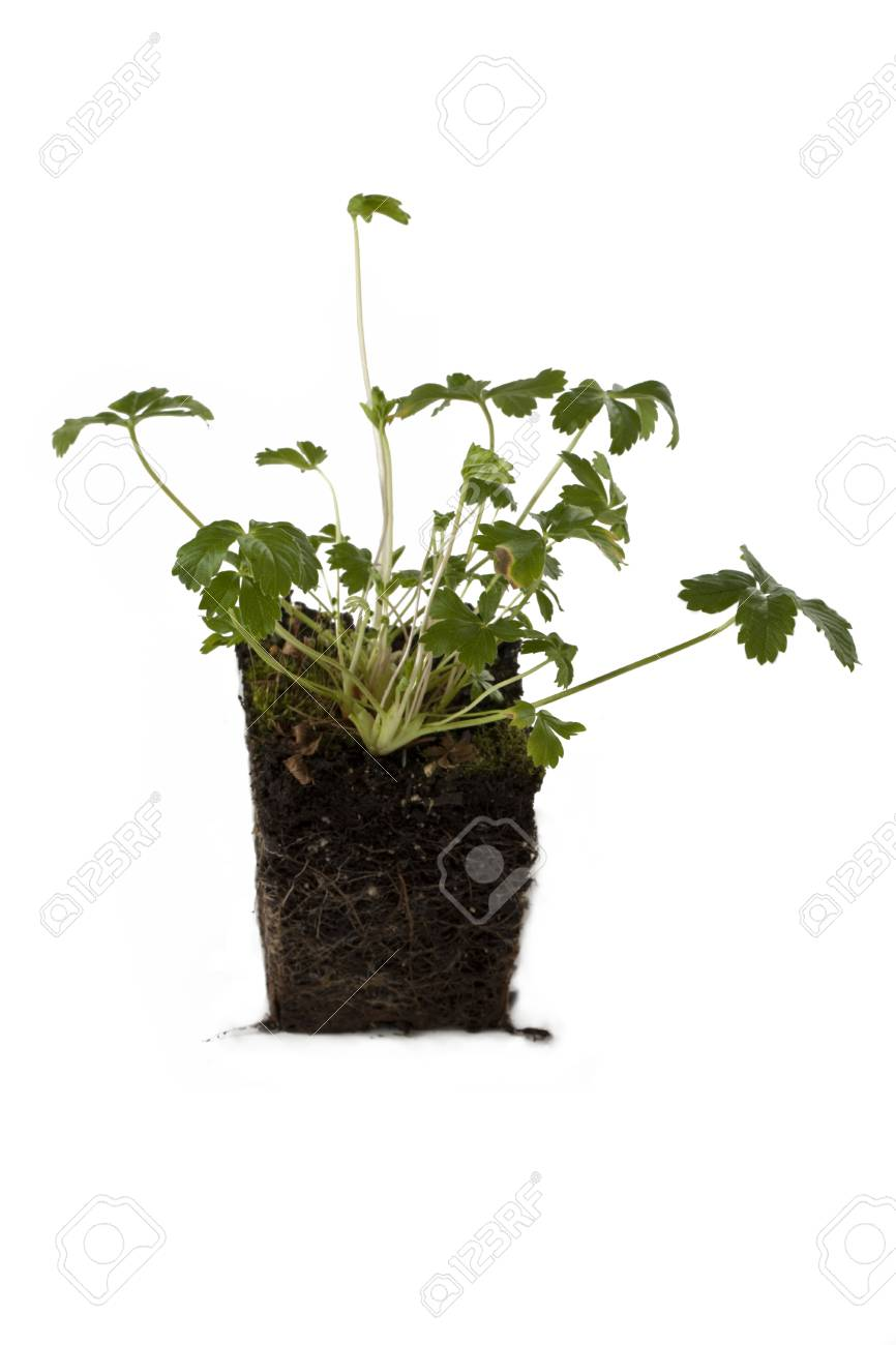 Image of green plant in block of soil against white background Stock Photo - 16225722