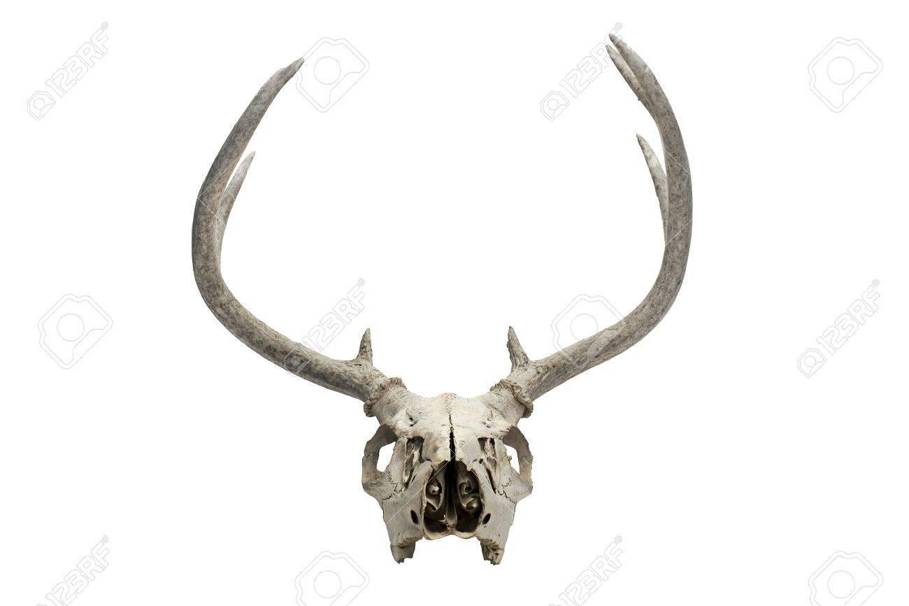 Una Ilustración De Un Cráneo De Venado Seco Viejo Fotos, Retratos ...