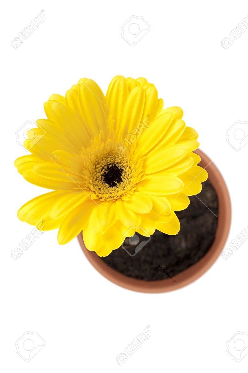 Yellow Daisy Flower Pot Isolated On White Background Stock Photo