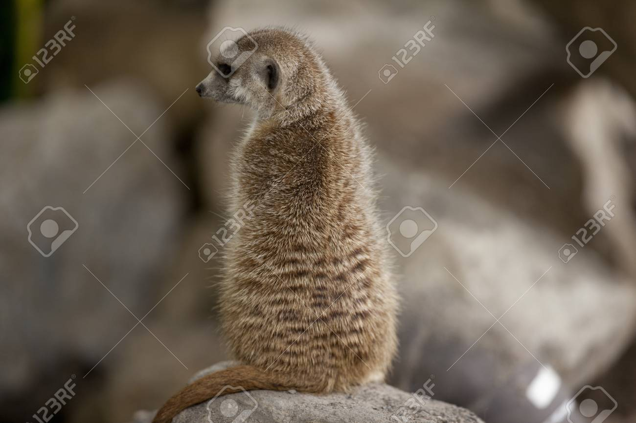 Portrait of a Meerkat sitting on a rock. Stock Photo - 17109966