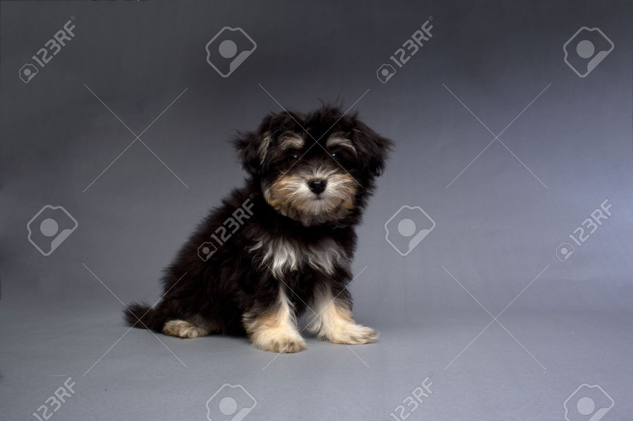 A Black And Tan Havanese Puppy Stock Photo Picture And Royalty Free Image Image 17185014