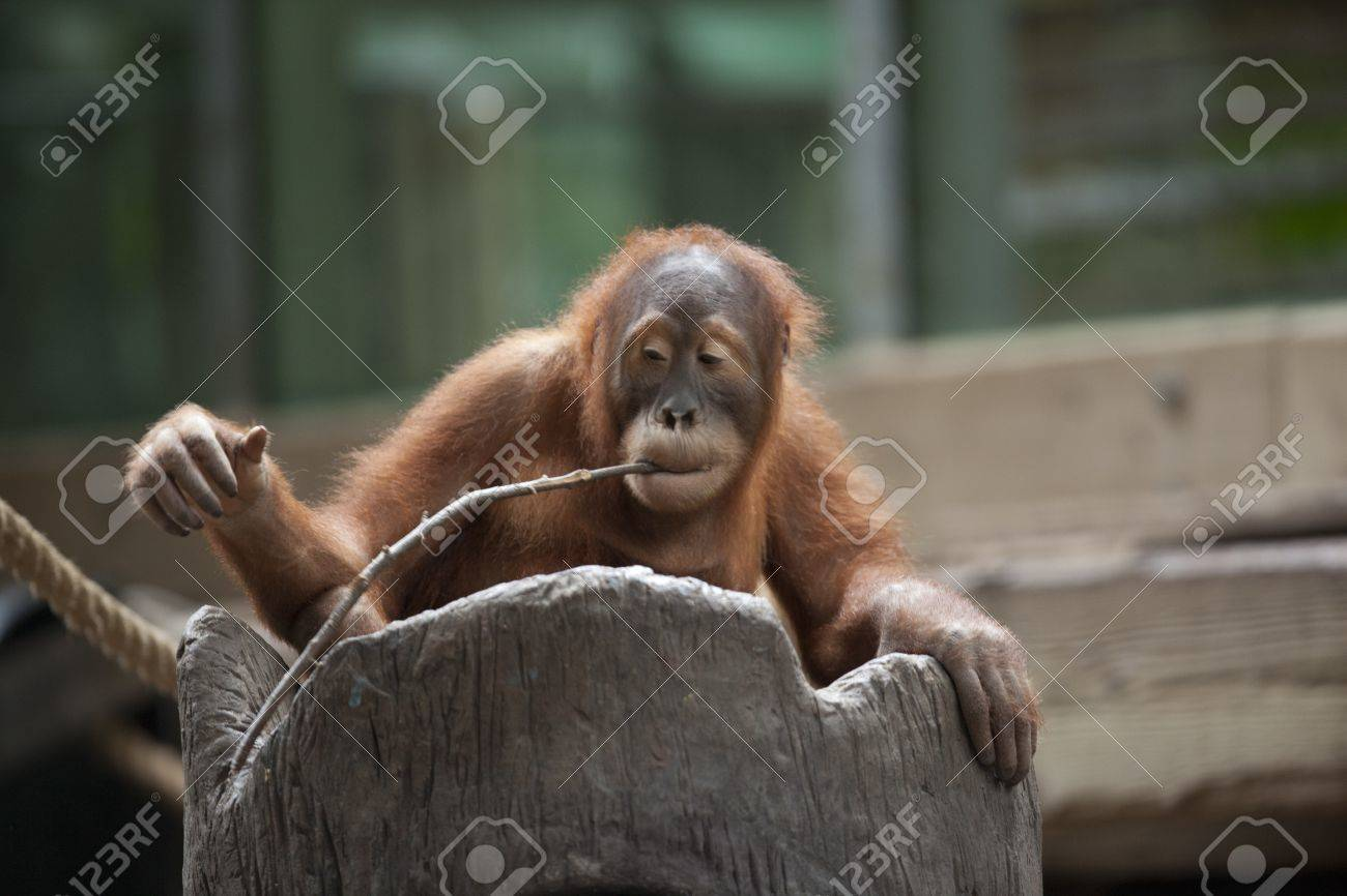 Chimpanzee holding twig with mouth Stock Photo - 17184756
