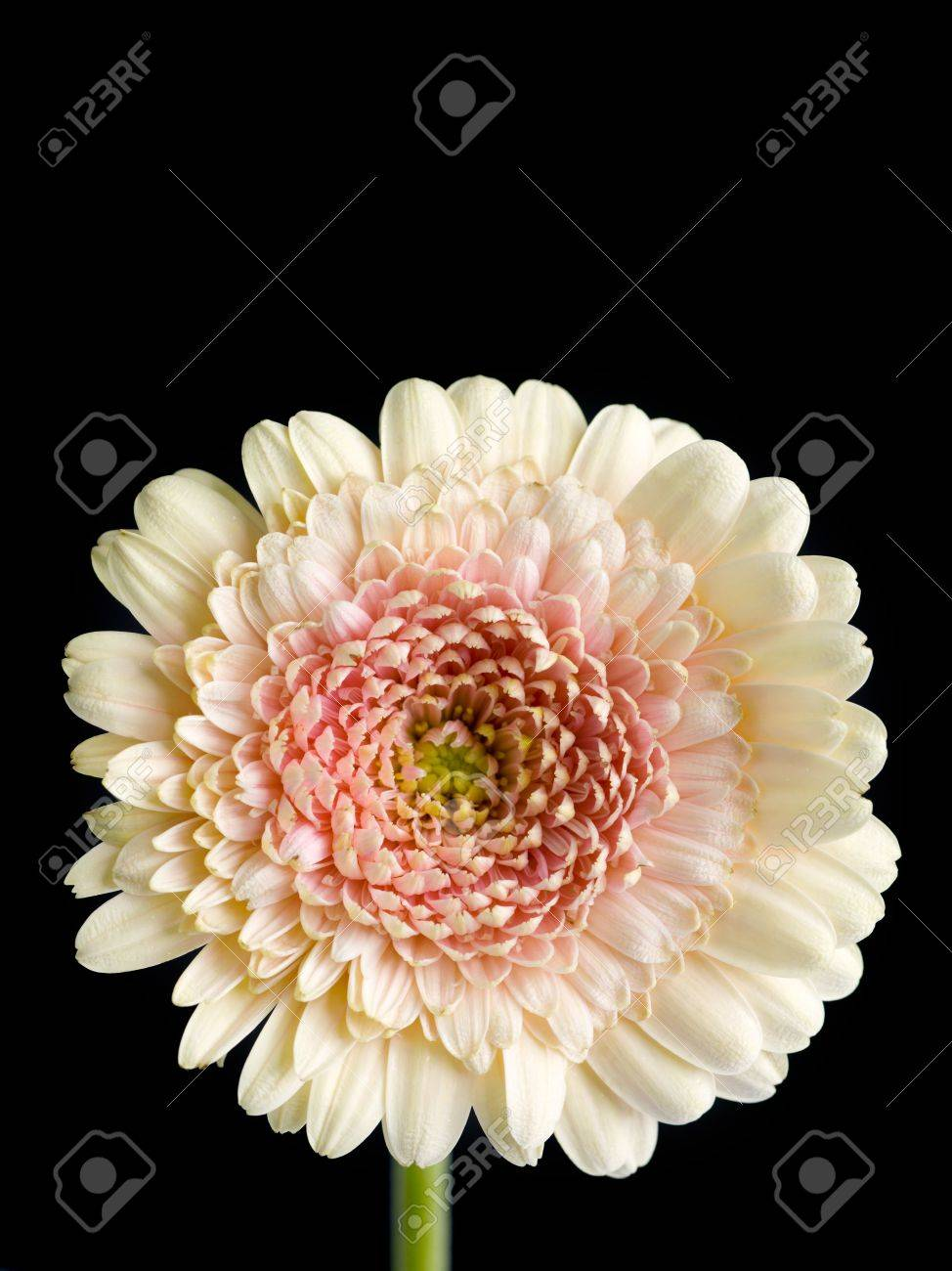Image Of White Chrysanthemum Flower On Dark Stock Photo Picture And