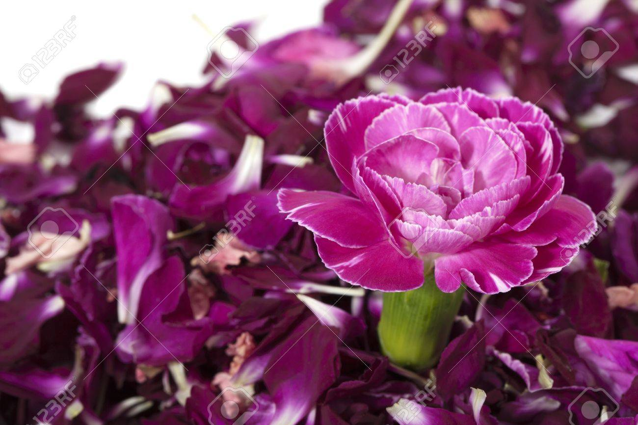 Image Of Pink Carnation Isolated Over The Purple Flower Petals