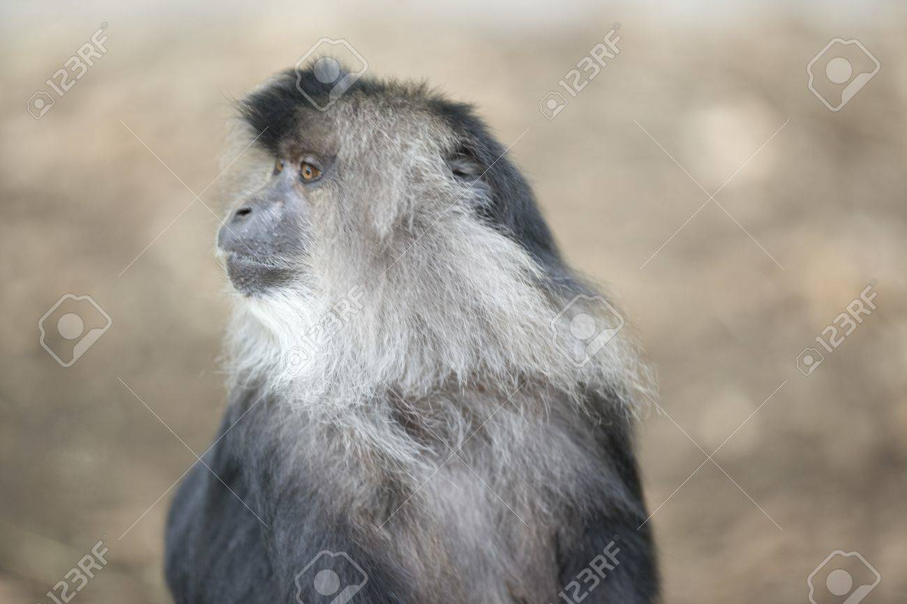 Macaque paying attention to zoo visitor hand motion. Stock Photo - 17339402