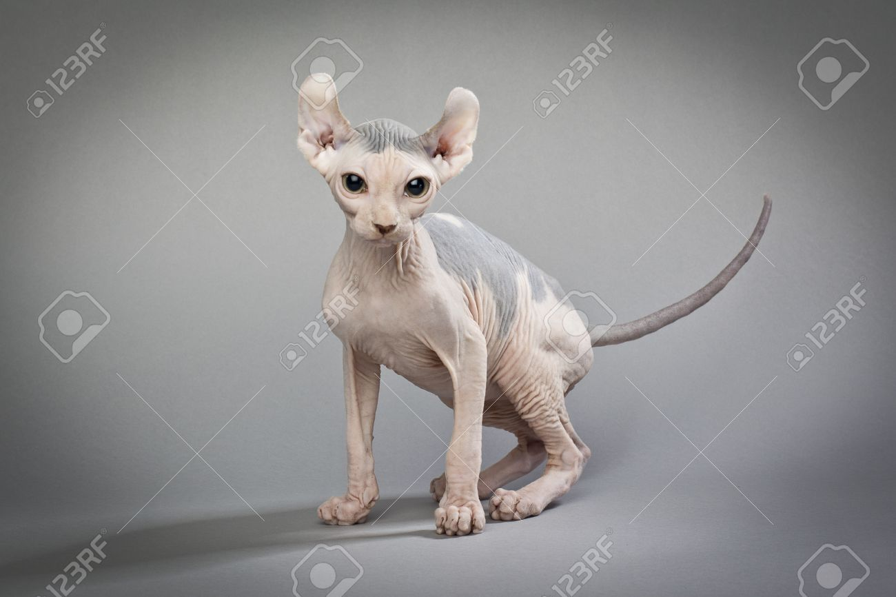 A Hairless Cat Standing On A White Background Stock Photo