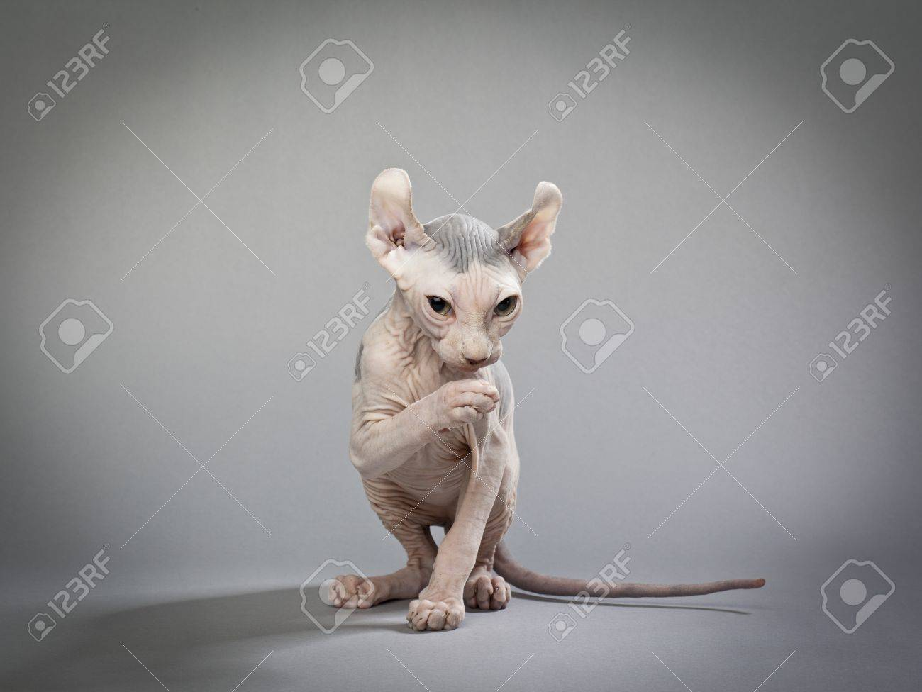 A wrinkled hairless cat on a grey background Elf Cat and Sphynx Breeders :  HOUSE OF