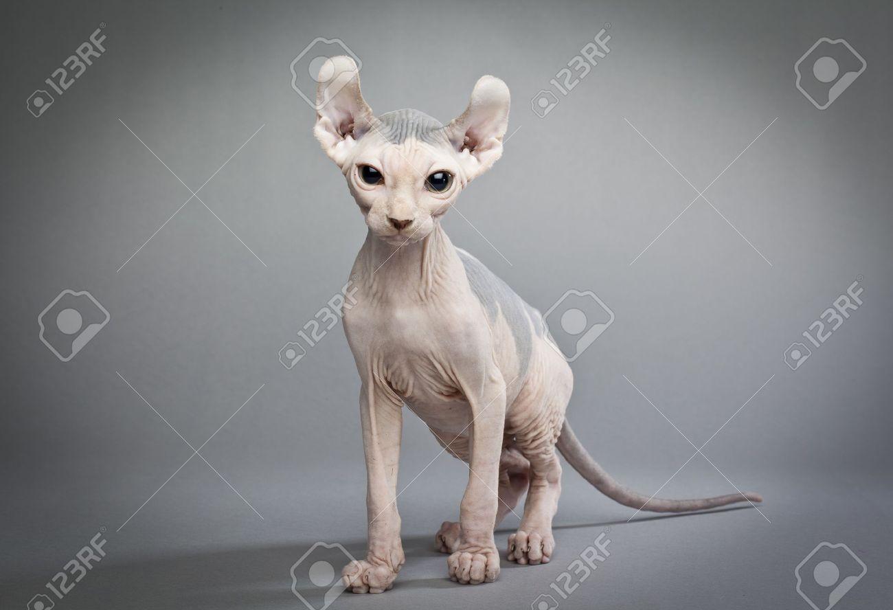 Immagini Stock Un Gatto Elfo è Un Incrocio Tra Diverse Razze Di