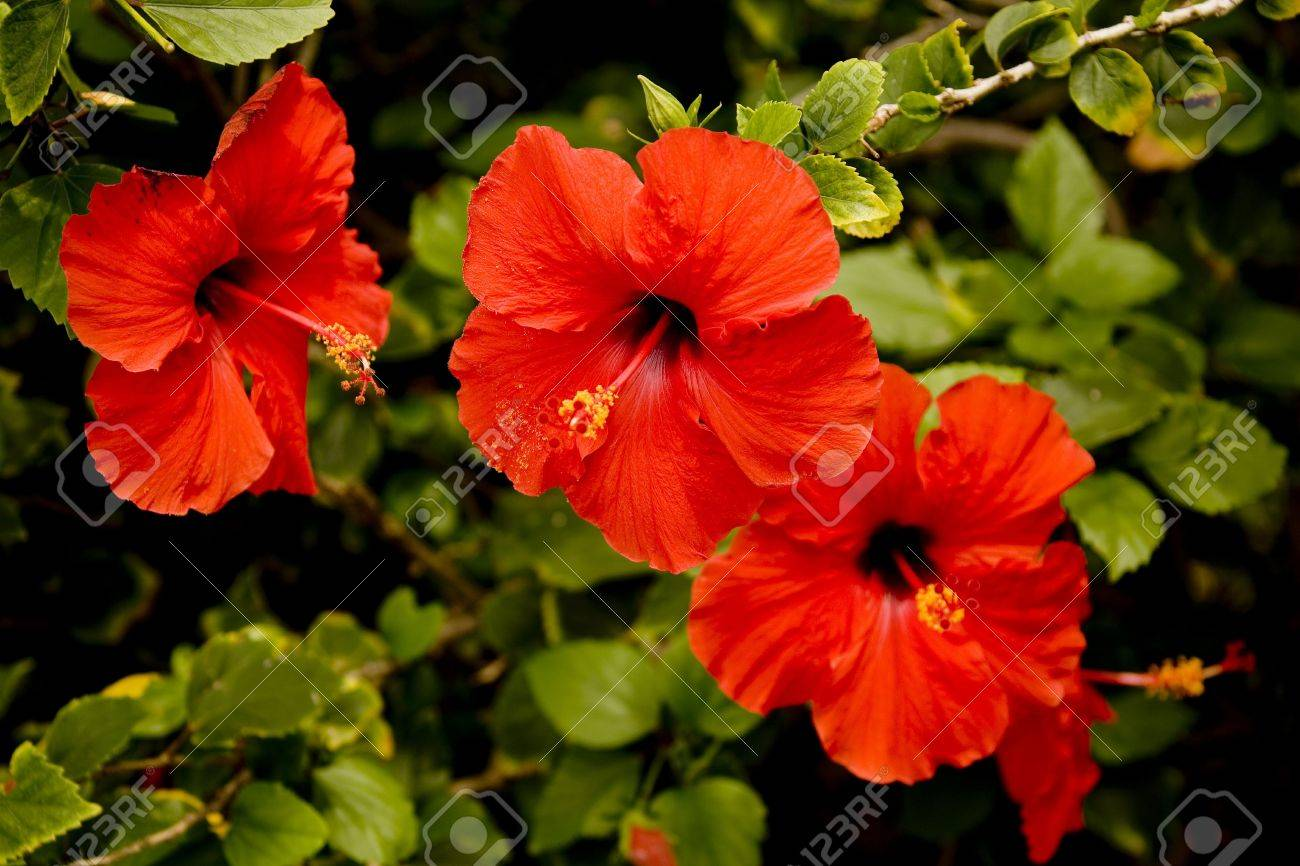 Red Hibiscus Flowers In A Row Horizontal Orientation. Stock Photo ...