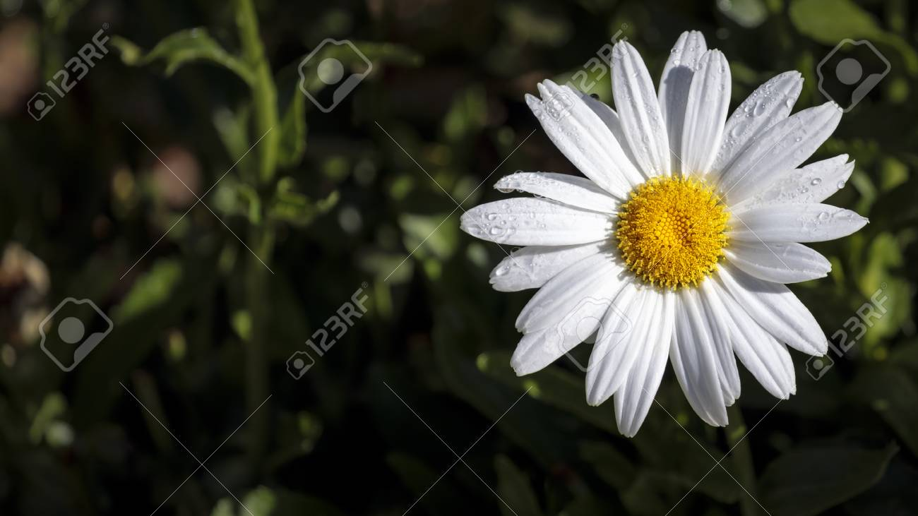 Daisy Flower White Petals Around A Bright Yellow Center Stock