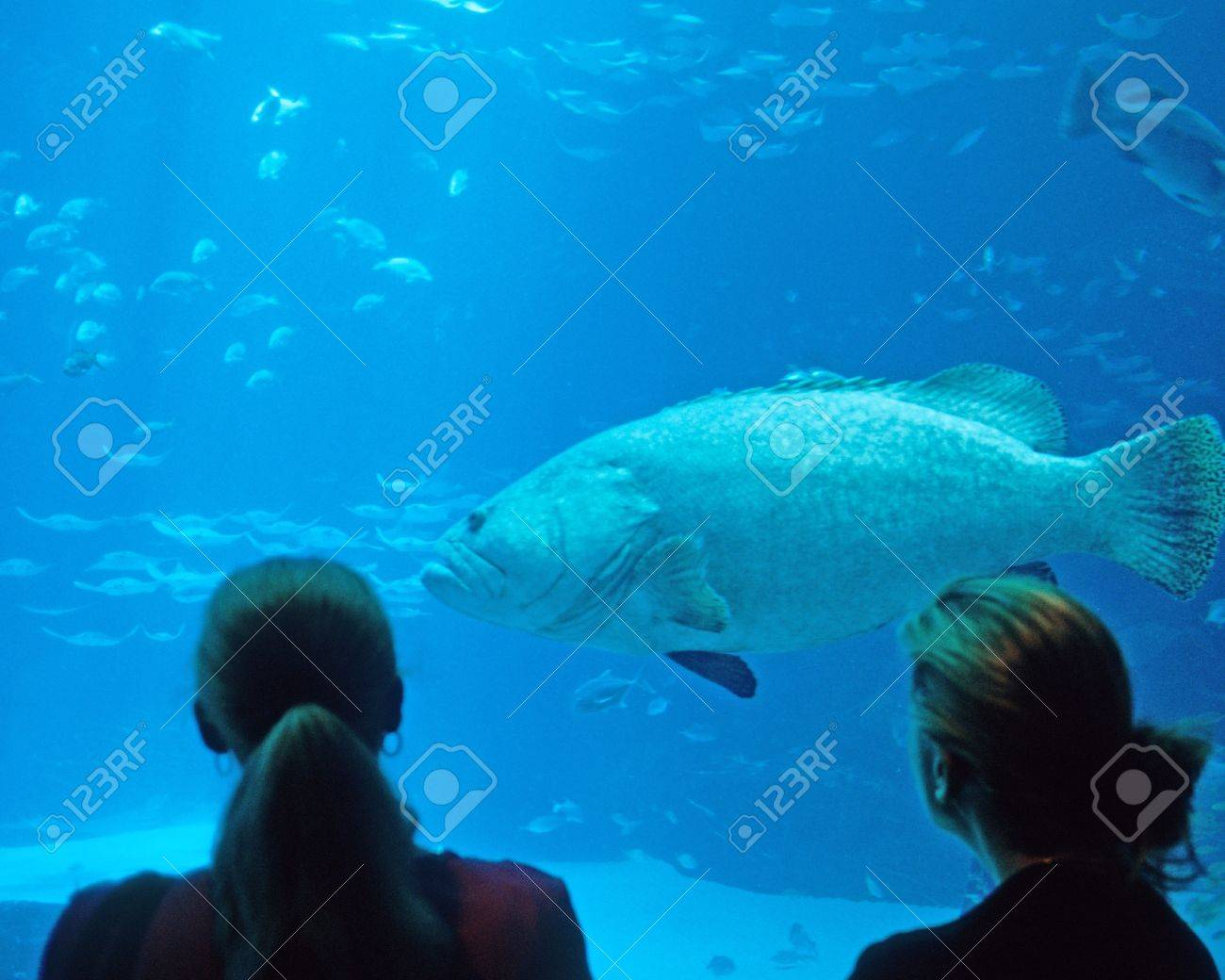 Fish aquarium in georgia - Giant Grouper And Sergeant Fish At Georgia Aquarium In Atlanta Georgia Stock Photo