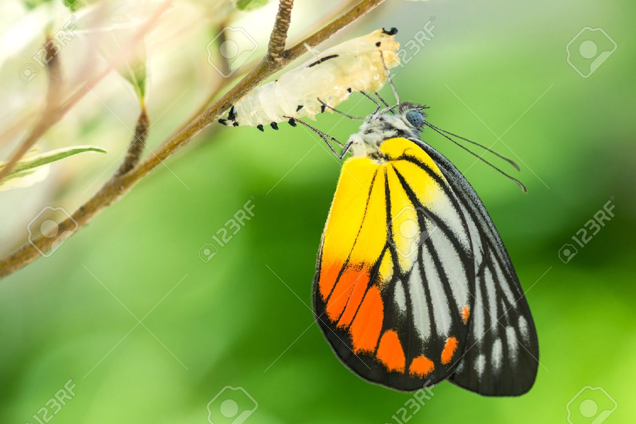 Beautiful butterfly emerges from a cocoon - 50957377