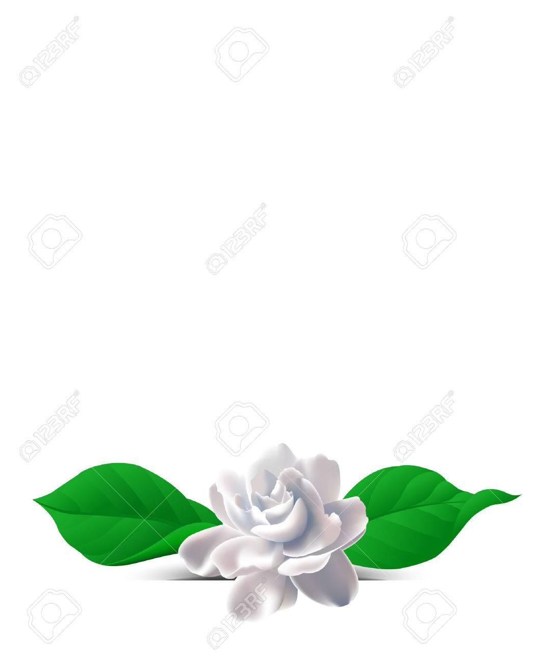 Jasmine flower. Zhasminova flower on a white background. Background with flowers. Flowers on the salutatory postcard. - 35086161