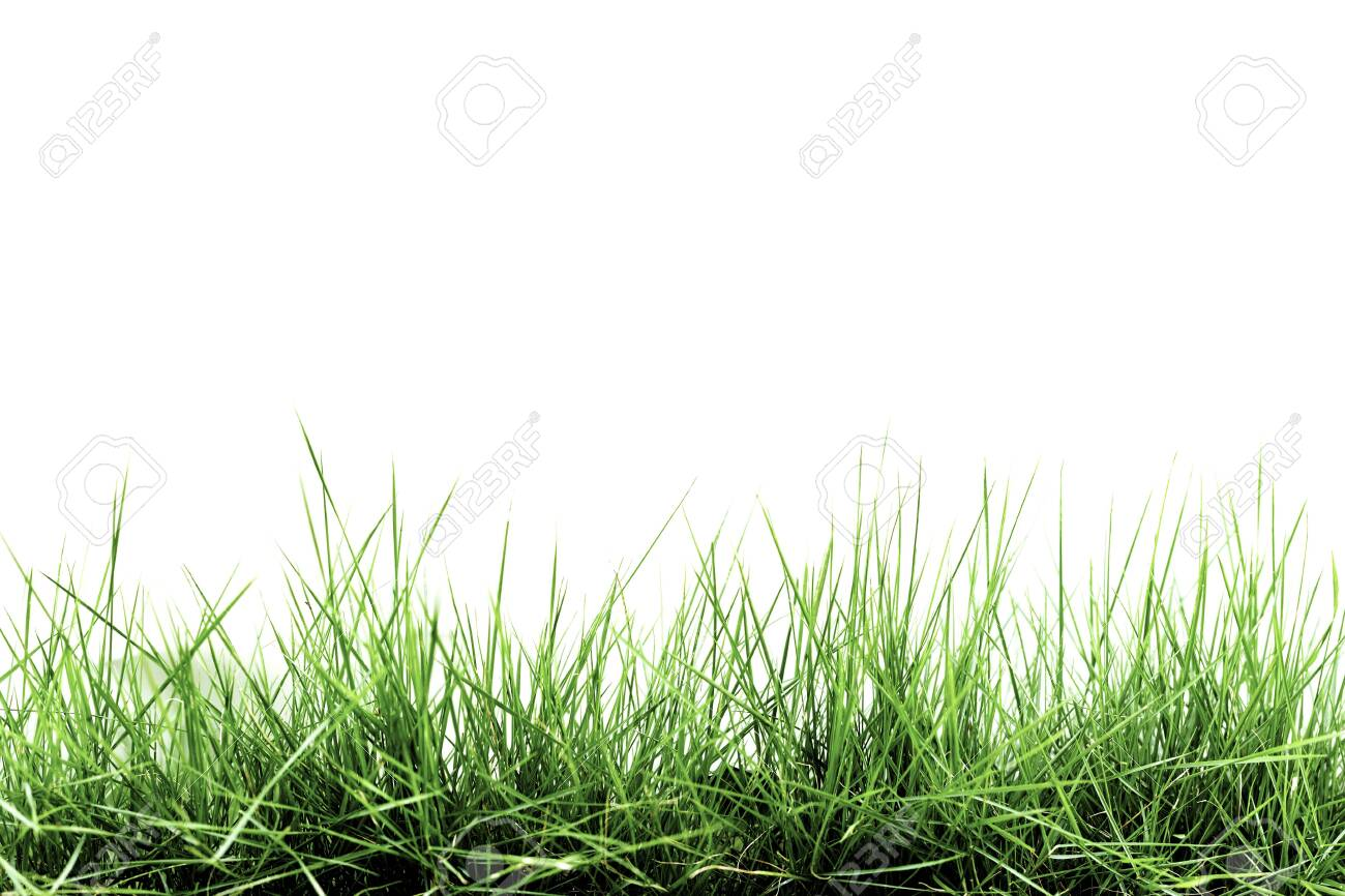 Grass isolated on white background - 131979858