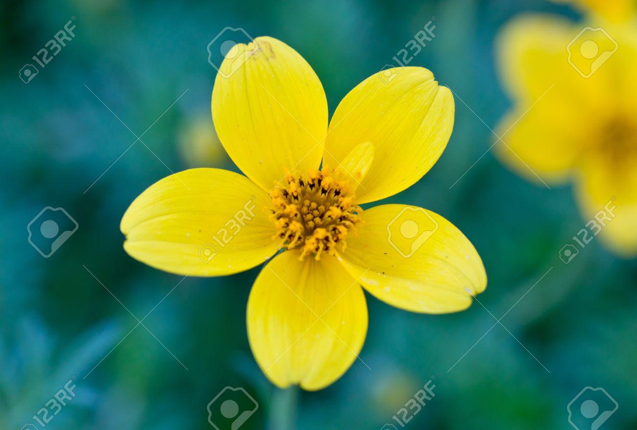 Single Yellow Flower With 5 Petals On Macro Shot Stock Photo