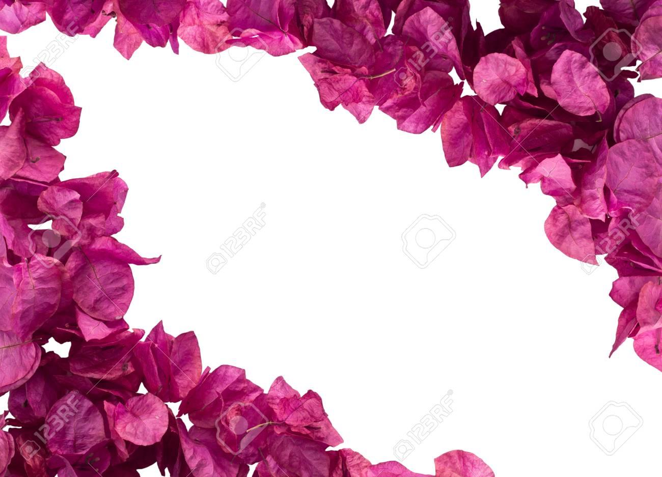 fleurs de bougainvillier rose isolés sur fond blanc banque d'images