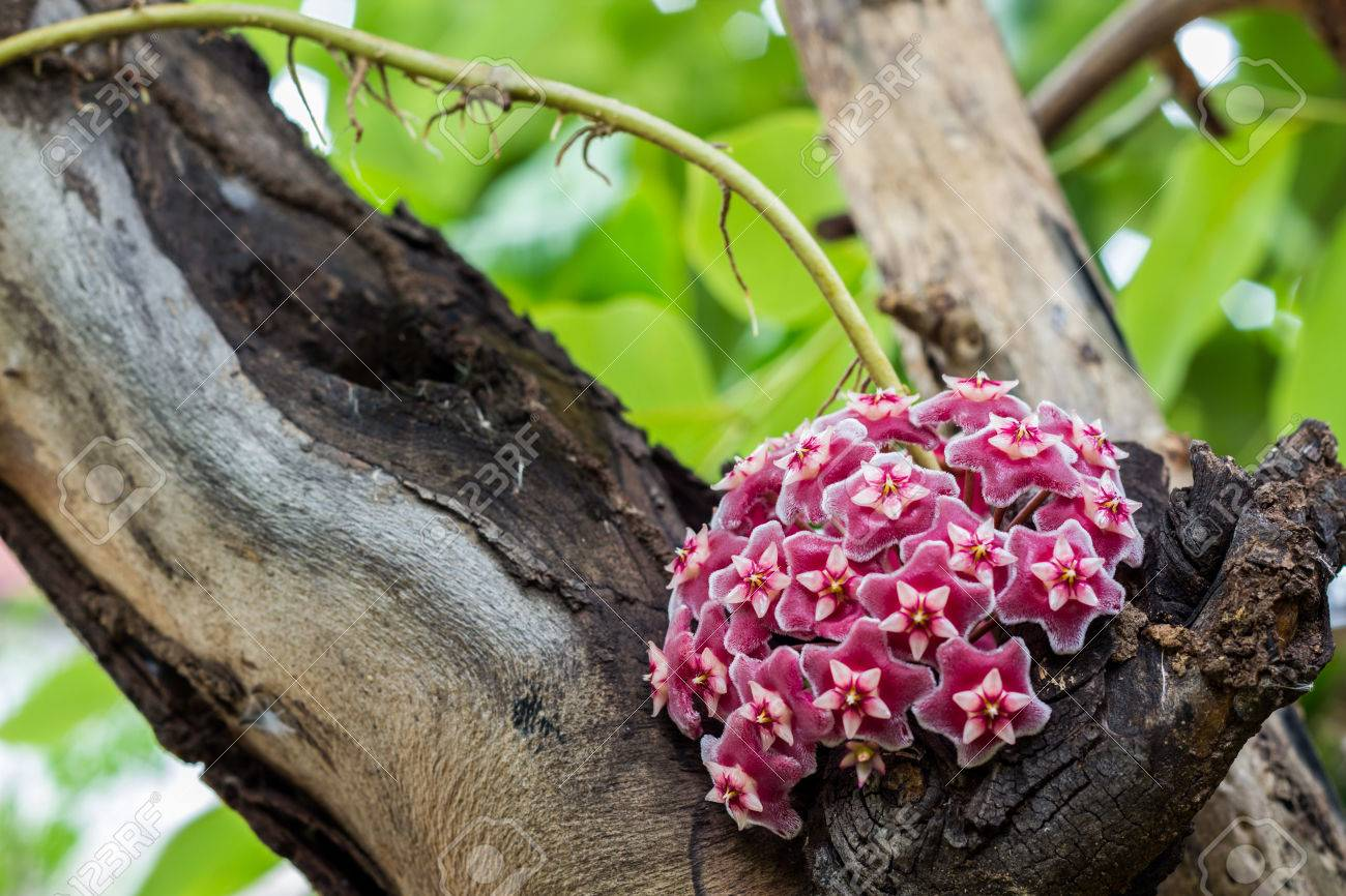 Pink Hoya Plant Flower On The Tree Stock Photo Picture And Royalty