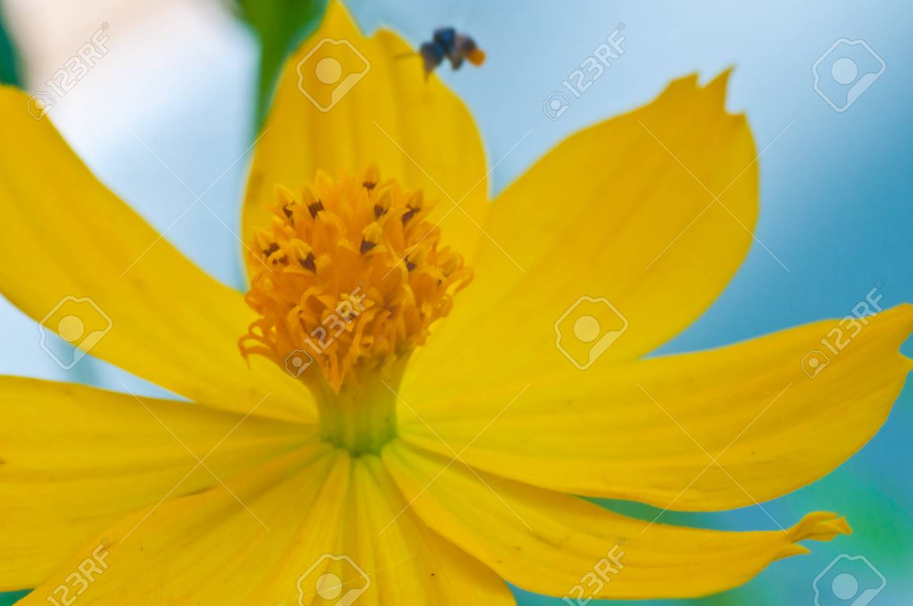 Working bee over the yellow flower Stock Photo - 16404404
